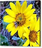 Bee On Wild Sunflowers Acrylic Print