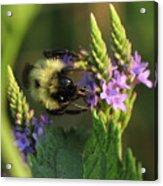 Bee On Wildflower Acrylic Print