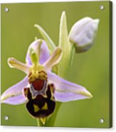 Bee Orchid Acrylic Print