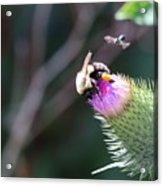 Bee Pollination Acrylic Print