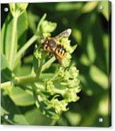 Bee Resting Acrylic Print
