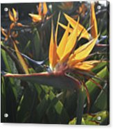 Bee Resting On The Petals Of A Bird Of Paradise  Acrylic Print