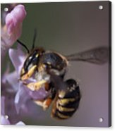 Bee Sipping Nectar Acrylic Print