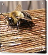 Bee-u-tiful Acrylic Print