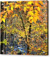 Beech Leaves Birch River Acrylic Print