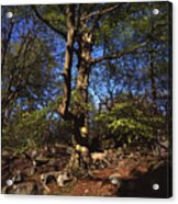 Beech Trees Coming Into Leaf  In Spring Padley Wood Padley Gorge Grindleford Derbyshire England Acrylic Print