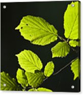 Beech Twig Detail Acrylic Print