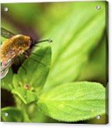 Beefly Acrylic Print
