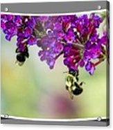 Bees On Butterfly Bush Framed Acrylic Print