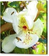 Bees On Open Magnolia Acrylic Print