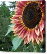 Bees On Sunflower 106 Acrylic Print
