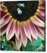 Bees On Sunflower 107 Acrylic Print