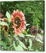 Bees On Sunflower 108 Acrylic Print