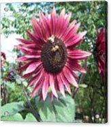Bees On Sunflower 123 Acrylic Print