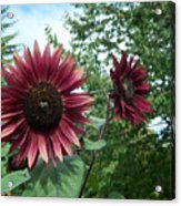 Bees On Sunflower 125 Acrylic Print