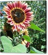 Bees On Sunflower 127 Acrylic Print