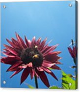 Bees On Sunflower 128 Acrylic Print