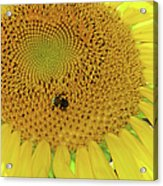 Bees Share A Sunflower Acrylic Print
