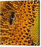 Bee's Sunflower Acrylic Print