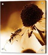 Beetle And Black Eyed Susan Acrylic Print