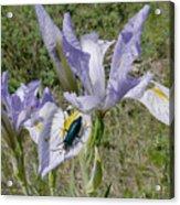 Beetle On Iris Acrylic Print