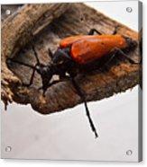 Beetle Pondering Acrylic Print