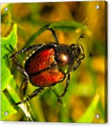 Beetle Take-off Acrylic Print