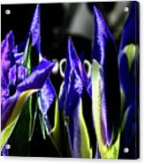 Before The Bloom Acrylic Print