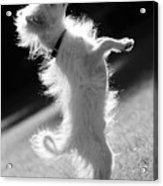 Begging Dog Black And White Acrylic Print