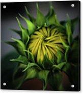 Beginnings Sunflower Xiii Acrylic Print