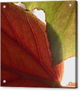 Begonia 1 Acrylic Print
