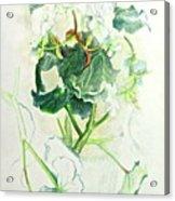 Begonia Ballet Acrylic Print