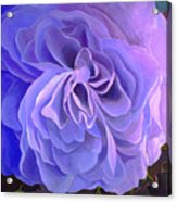 Begonia Bloom Acrylic Print