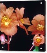 Begonia Buddies Acrylic Print