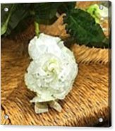 Begonia In Repose Acrylic Print
