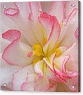 Begonia Pink Frills - Vertival Acrylic Print