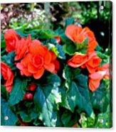 Begonia Plant Acrylic Print