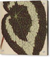 Begonia Rex Acrylic Print