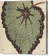 Begonia Rex, Variety Isis Acrylic Print
