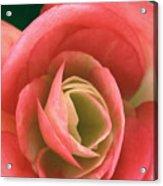 Begonia Rose Acrylic Print by Ryan Kelly