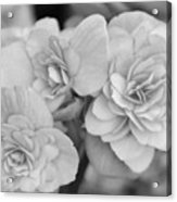 Begonias In Black And White Acrylic Print