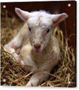 Behold The Lamb Acrylic Print