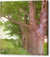 Being Old Trees Acrylic Print