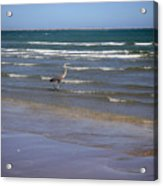 Being One With The Gulf - Wading Acrylic Print