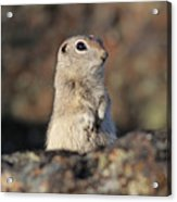 Belding Ground Squirrel Acrylic Print