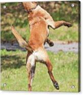 Belgian Shepherd Dog Acrylic Print