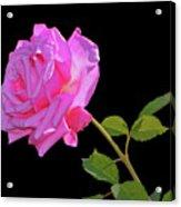 Belinda's Dream Rose 005 Acrylic Print