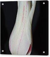 Bell Tulip Acrylic Print