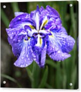 Bellevue Botanical Garden Iris 6402 Acrylic Print