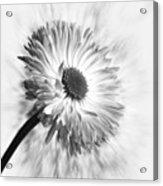 Bellis In Mono  #flower #flowers Acrylic Print